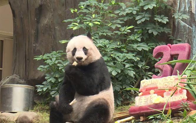 Панда Джиа Джиа празднует свой день рождения