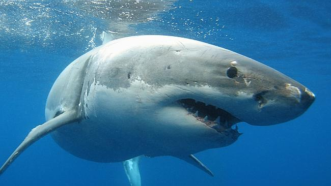 Посчитана популяция белых акул в Австралии