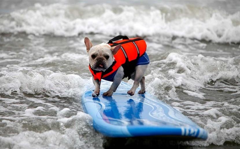 В Калифорнии прошло соревнование по серфингу среди собак