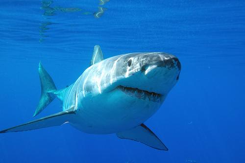 Акула на побережье Австралии — туризм не пострадал