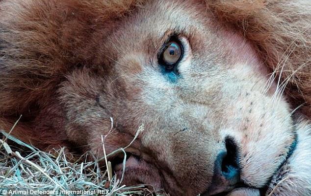 Из цирка Перу в Южной Америки эвакуируют львов в естественную среду обитания