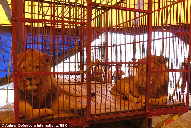 2C0A80B400000578-3225071-Fellow_lion_Rey_joins_Simba_in_the_cage_Animals_rights_charity_A-a-104_1441637938496