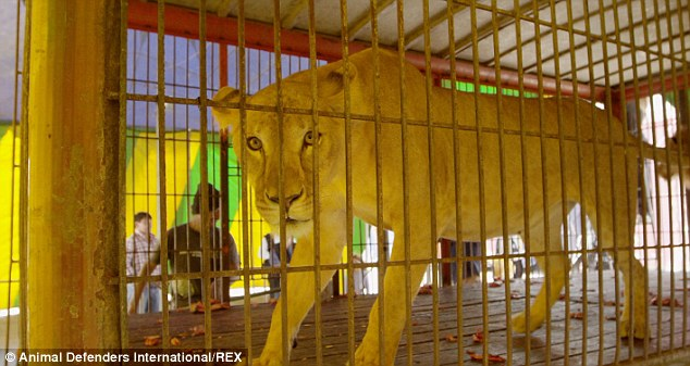 2C0A80BE00000578-3225071-Lioness_Rapunzel_was_taken_in_by_the_charity_which_raided_a_tota-a-106_1441637951494