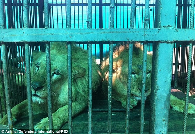 2C0A80DF00000578-3225071-Lions_Bumba_and_Junior_pictured_were_also_rescued_from_a_cruel_c-a-105_1441637946370