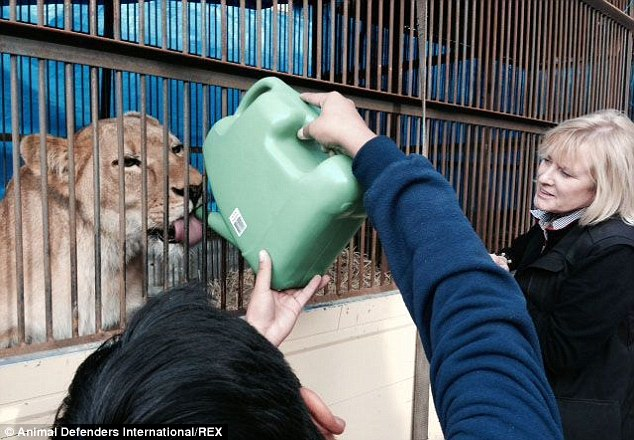 2C0A80F900000578-3225071-Lioness_Amazonas_takes_a_drink_from_a_watering_can_before_being_-a-110_1441637976800