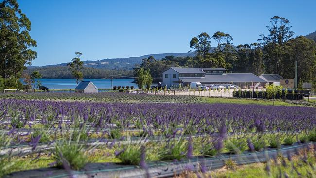 Тасмания привлекает по-новому: огромное лавандовое поле становится достопримечательностью