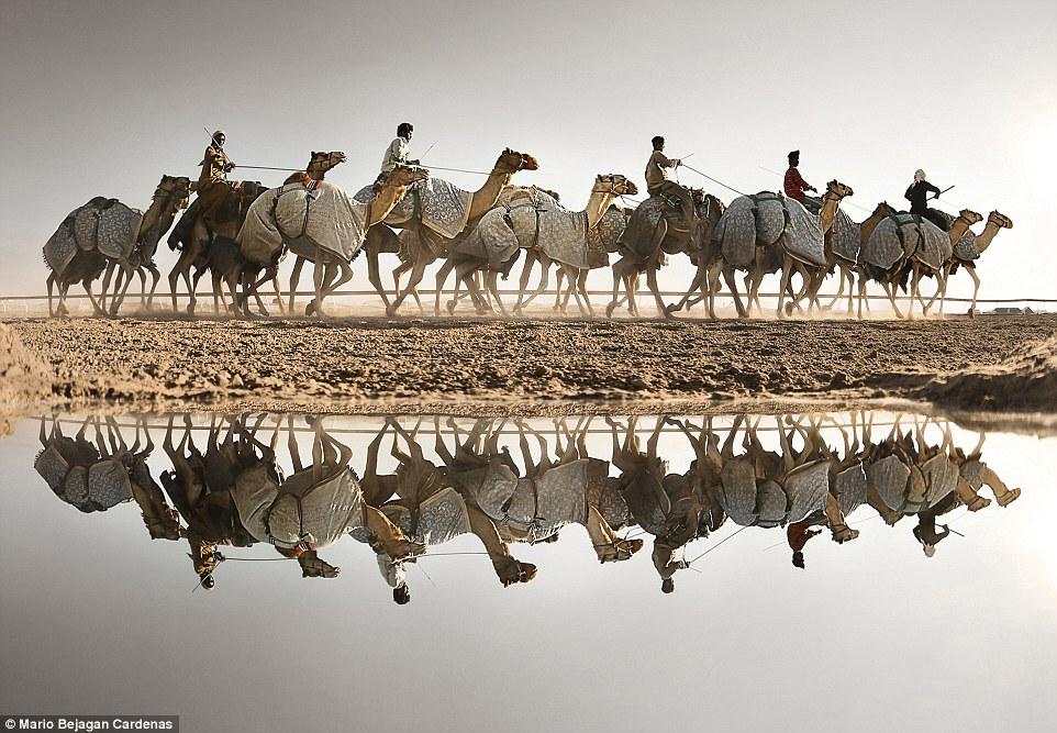 2E08AD5400000578-3300001-Open_colour_Honourable_mention_Sweihan_Camels_by_Mario_Bejagan_C-a-73_1446459246696