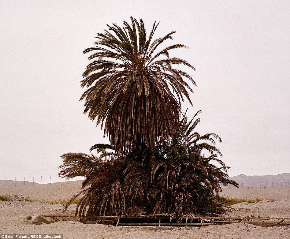 2E4BAC5E00000578-3311645-Palm_trees_stand_in_solitude_in_Paracas_small_port_town_catering-a-12_1447153963380