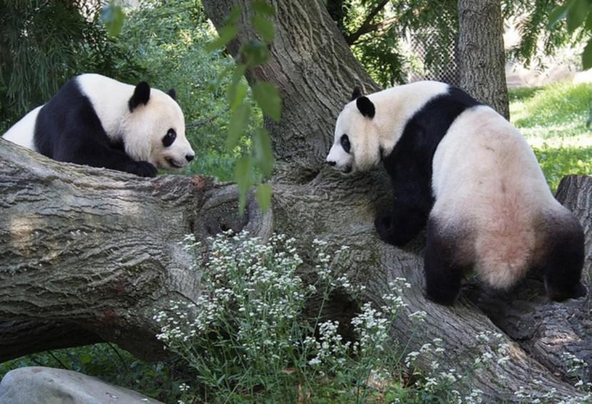 Гигантские панды остаются под защитой национального парка в Вашингтоне