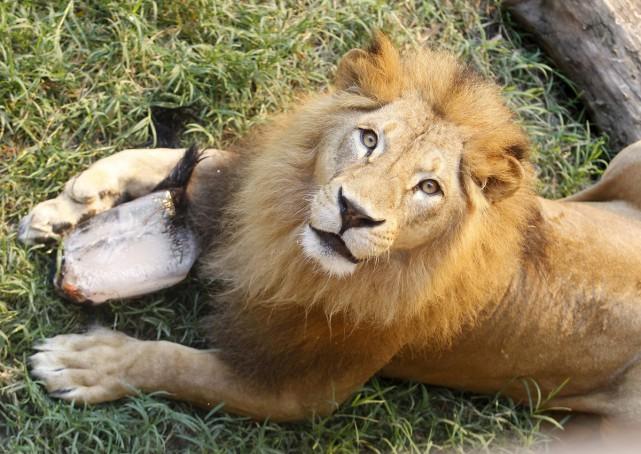 20150917_lion_zoo_reuters