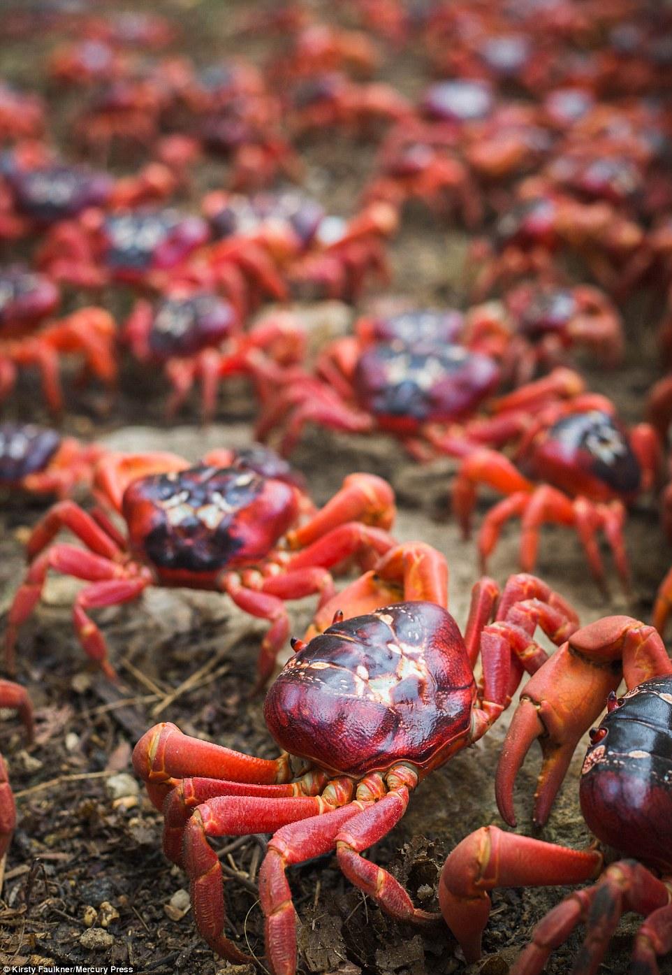 В Австралии начался ежегодный поход красных крабов
