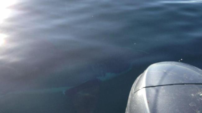 Соцсети взбудоражил снимок гигантской акулы