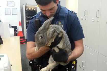 Австралийцев сажают за хранение кроликов