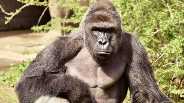 Зоопарк Цинциннати пытается оправдаться за убийство гориллы.