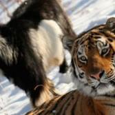 История дружбы тигра с козлом оказалась фэйком
