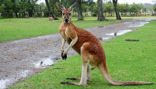 Сторонник ИГ хотел убить полицейских, взорвав кенгуру