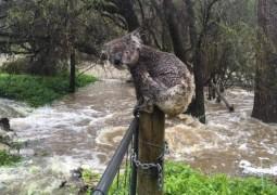 Австралиец спас коалу от наводнения