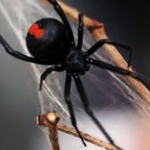 В Австралии паук укусил мужчину за пенис. Второй раз за полгода.