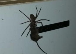 Огромный паук, пожирающий мышь, покоряет Австралию