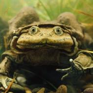 В Перу погибли 10 000 лягушек