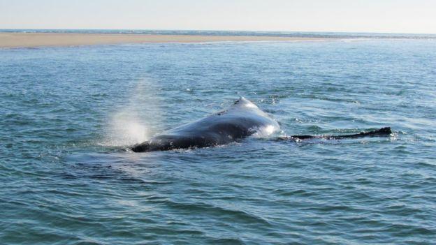 В Австралии детеныш кита помог маме спастись