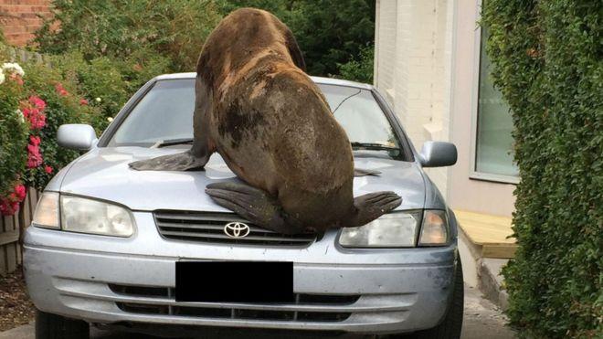 В Австралии морской котик захватил автомобиль