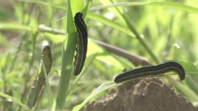 В Замбии армия будет воевать с червями