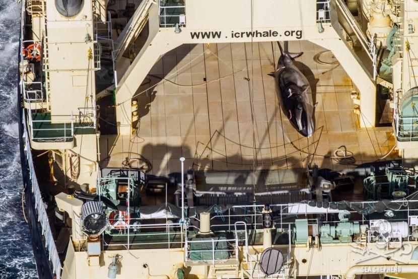 Австралия раскритиковала Японию за китобойный промысел