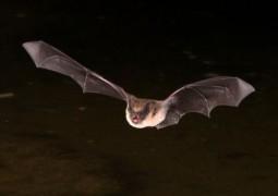 Чили переживает нашествие летучих мышей-вампиров