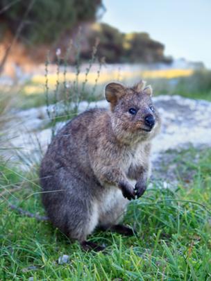 В Западной Австралии разыскивают сбежавшую квокку