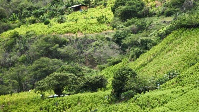 Колумбия заплатит фермерам, чтобы они перестали выращивать коку
