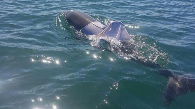 В Австралии разыскивают дельфина в рубашке