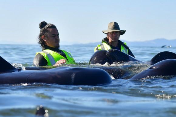 В Новой Зеландии вновь выбросились на берег сотни дельфинов