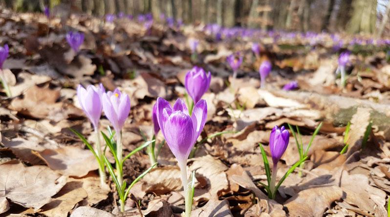 Уникальная и красивая весна в Карпатах