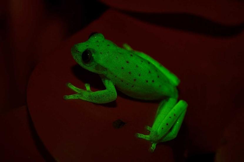В Южной Америке нашли уникальную лягушку