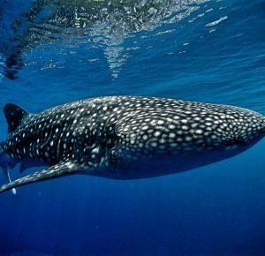 Виды акул в Черном море