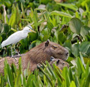 Удивительные животные Капибары — крупные грызуны с покладистым нравом
